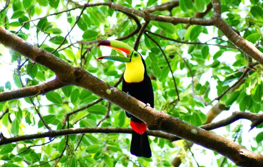 Toucan Arenal
