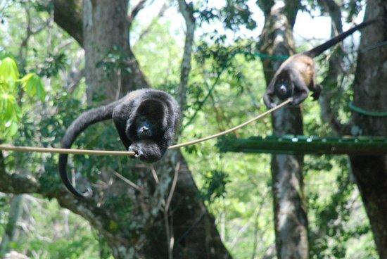 Monkeys on Tamarindo Zip Line tours