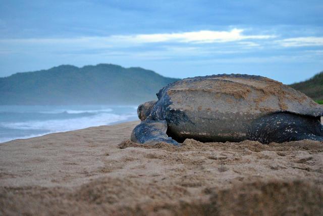 leatherback turtle in Costa Rica