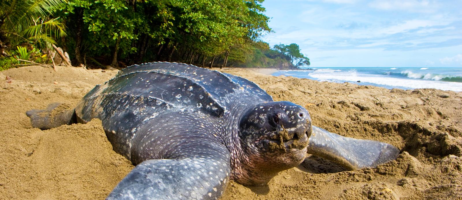 leatherback sea turtle in Playa Junquillal