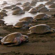 Ostional turtles