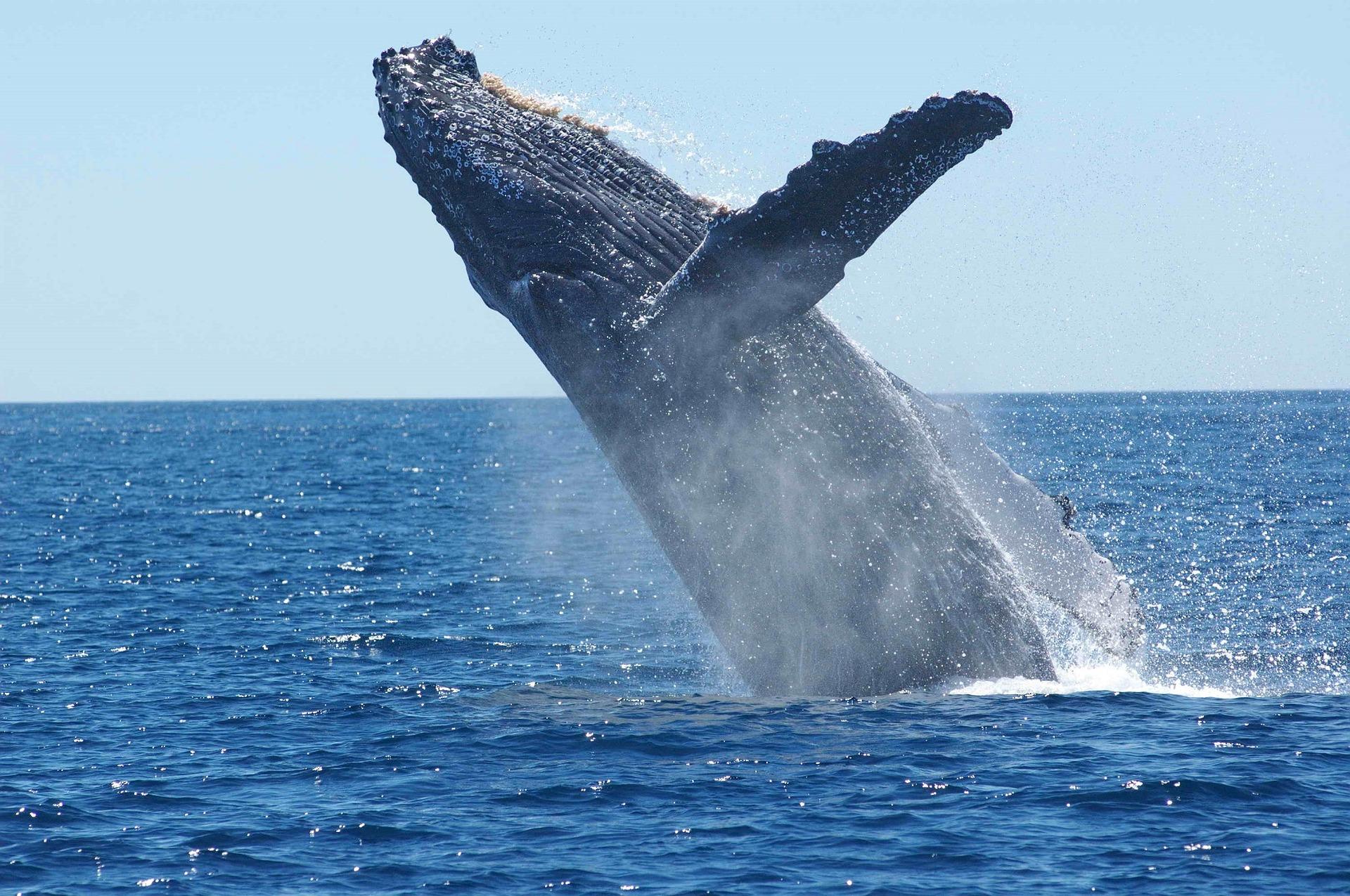 humpback-whale-costa-rican-wildlife