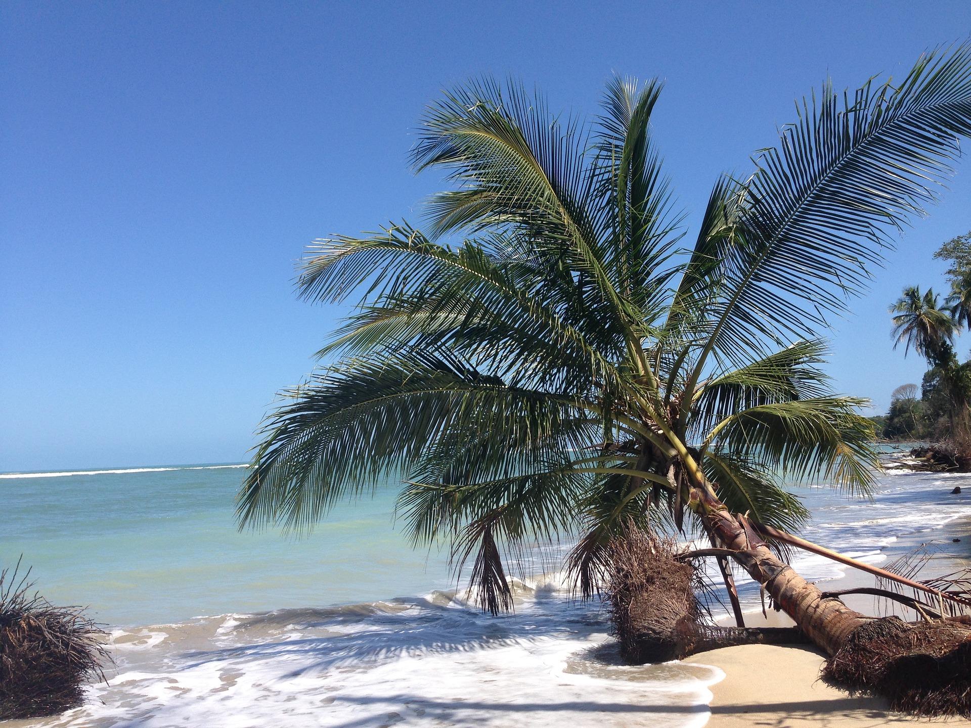 Costa Rica palm tree