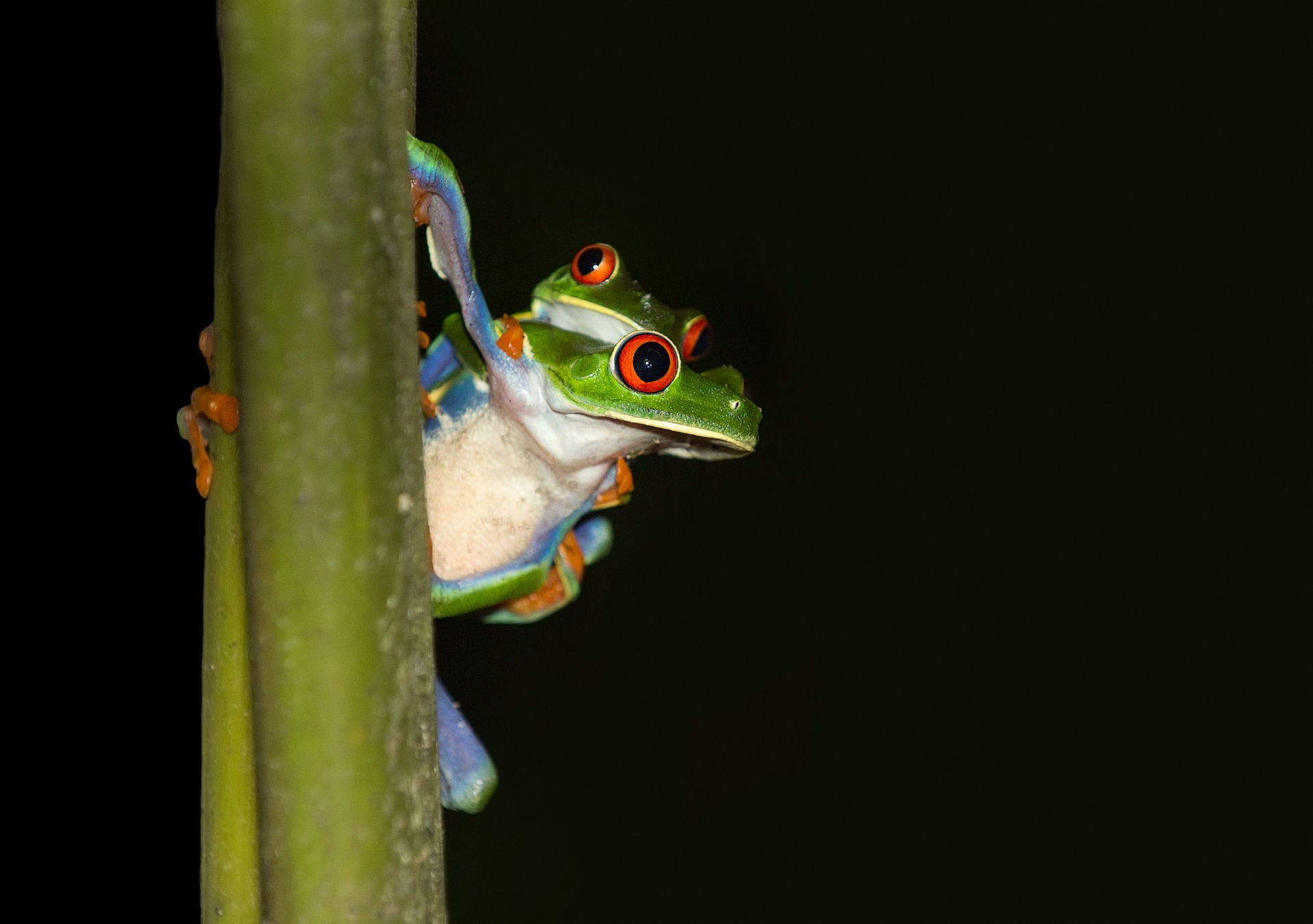 Costa Rica red-eyed tree frog