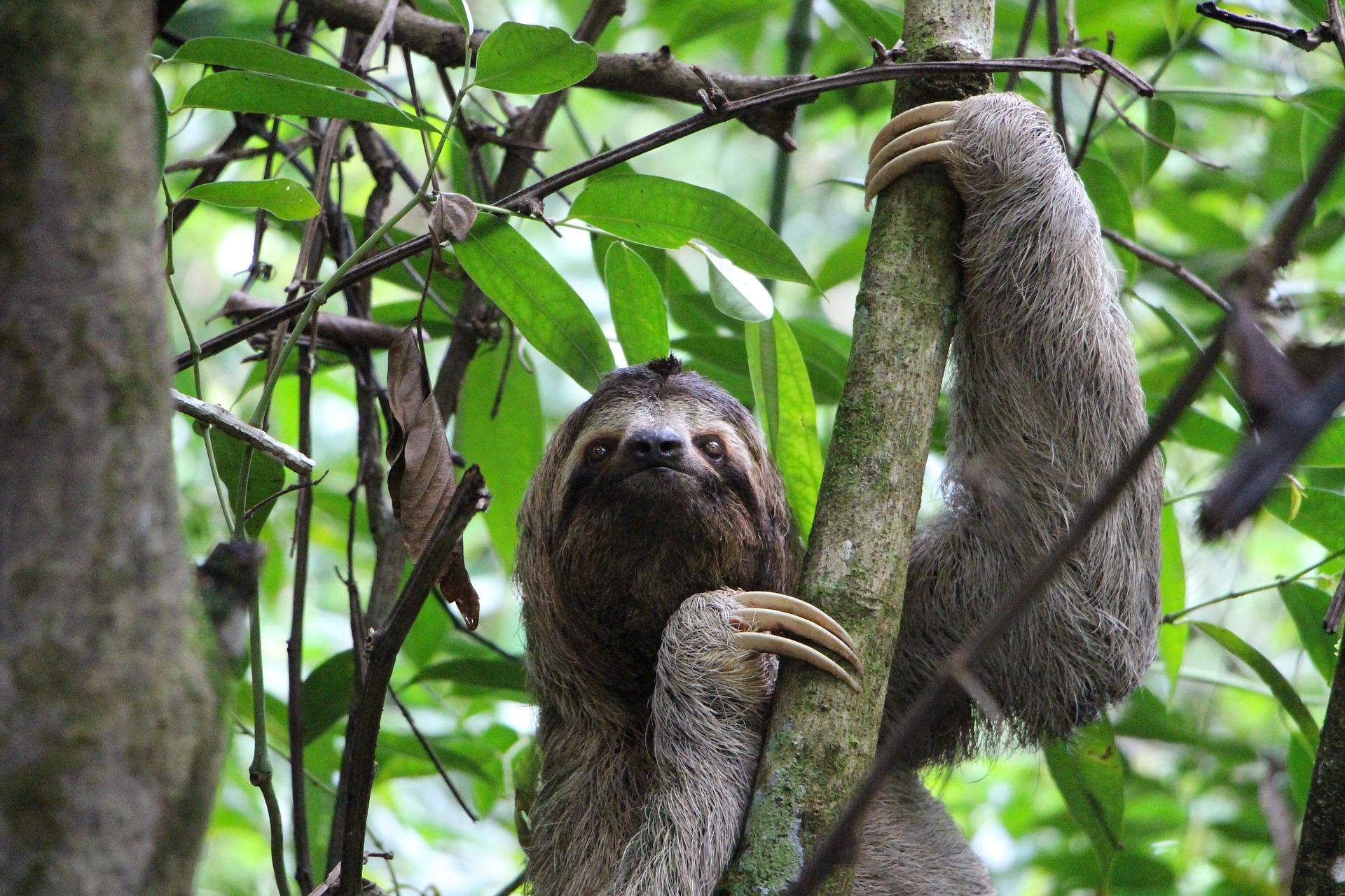 Costa Rica three-toed sloth