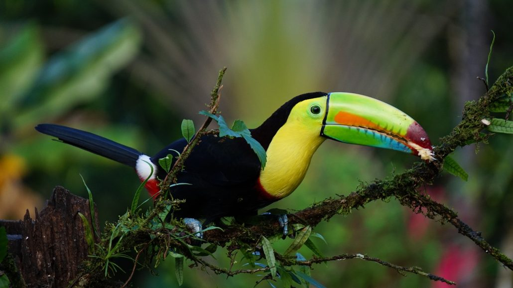 Costa Rican animals: the keel-billed toucan