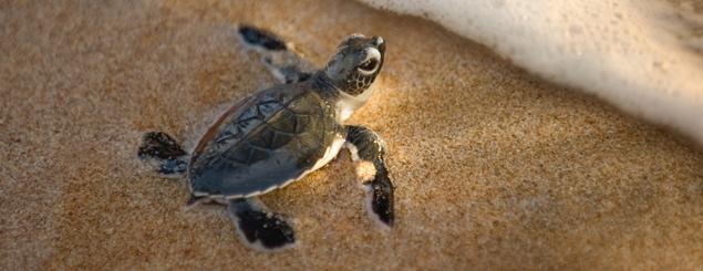 Baby sea turtle at Ostional Wildlife Refuge