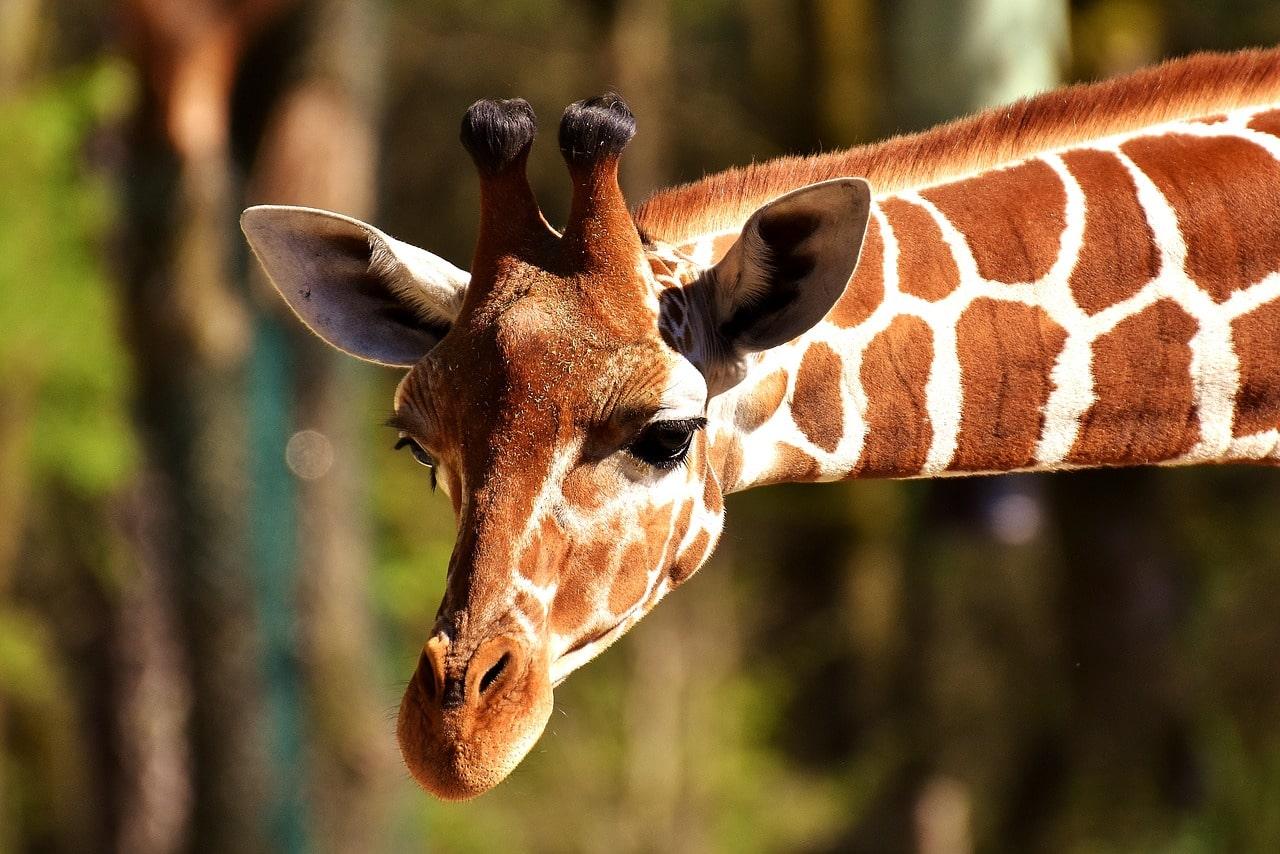 African safari giraffe in Costa Rica-min